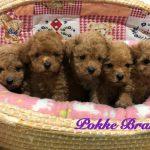 トイプードル レッド 仔犬販売 自家繁殖