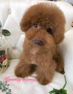 トイプードル レッド 女の子 ママ犬