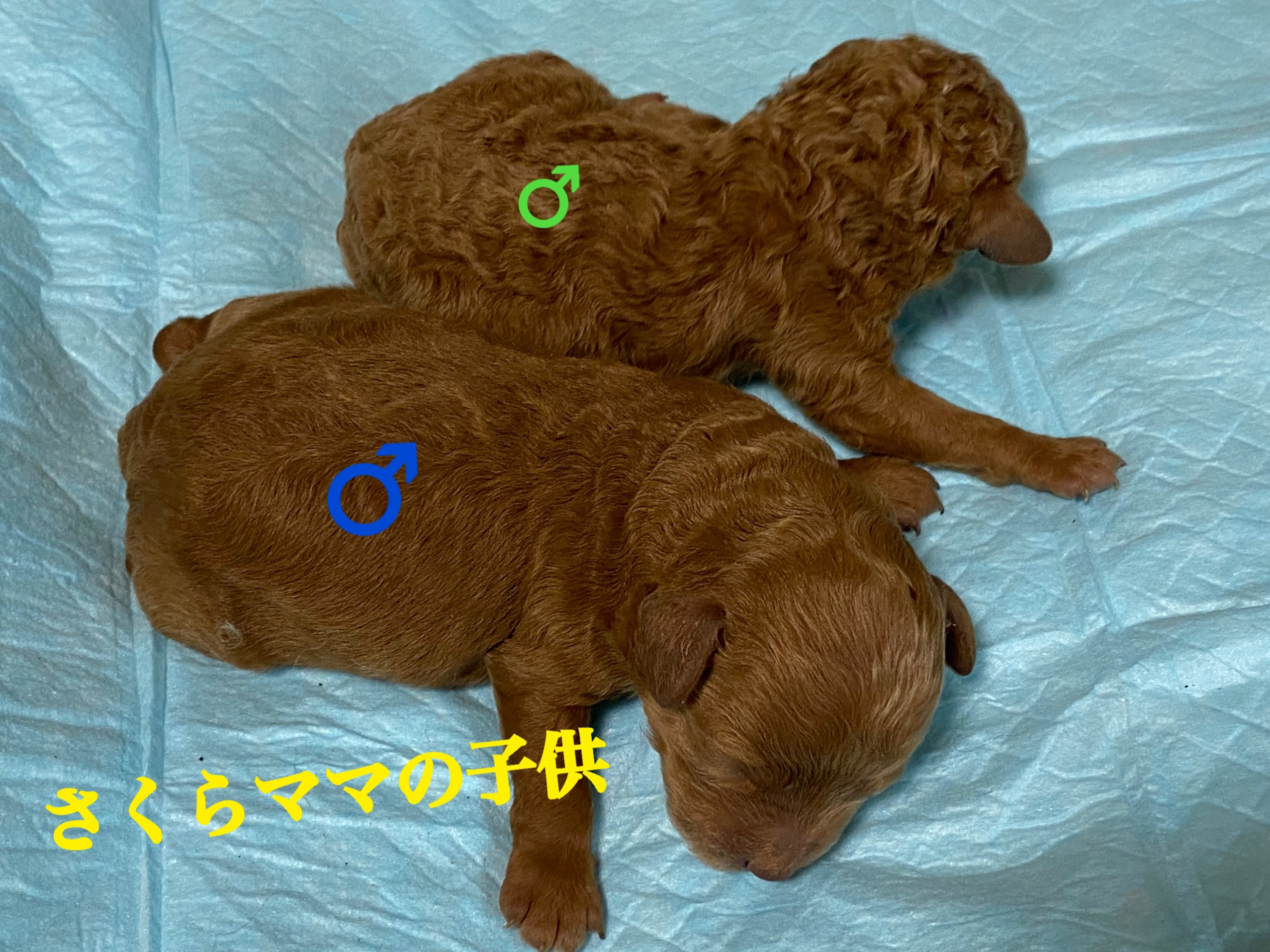トイプードル 自家繁殖 レッド 仔犬 仔犬販売