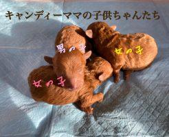 トイプードル レッド 自家繁殖