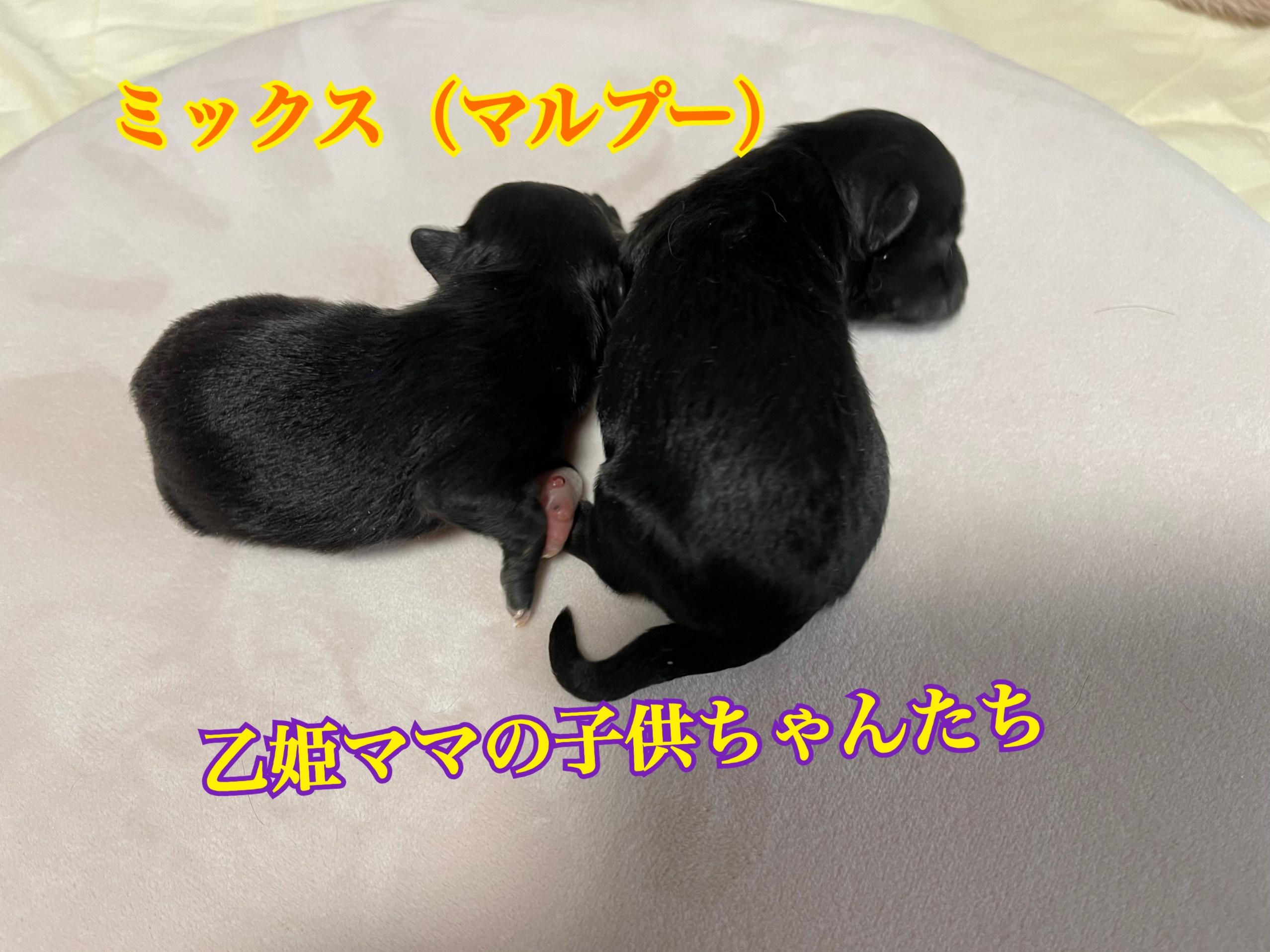 mix犬 ミックス犬 マルプー 男の子 仔犬販売