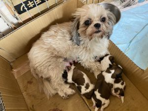シーズー 仔犬 出産 自家繁殖