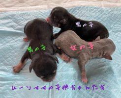 チワワ 自家繁殖 子犬販売