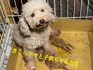 トイプードル 仔犬販売 仔犬