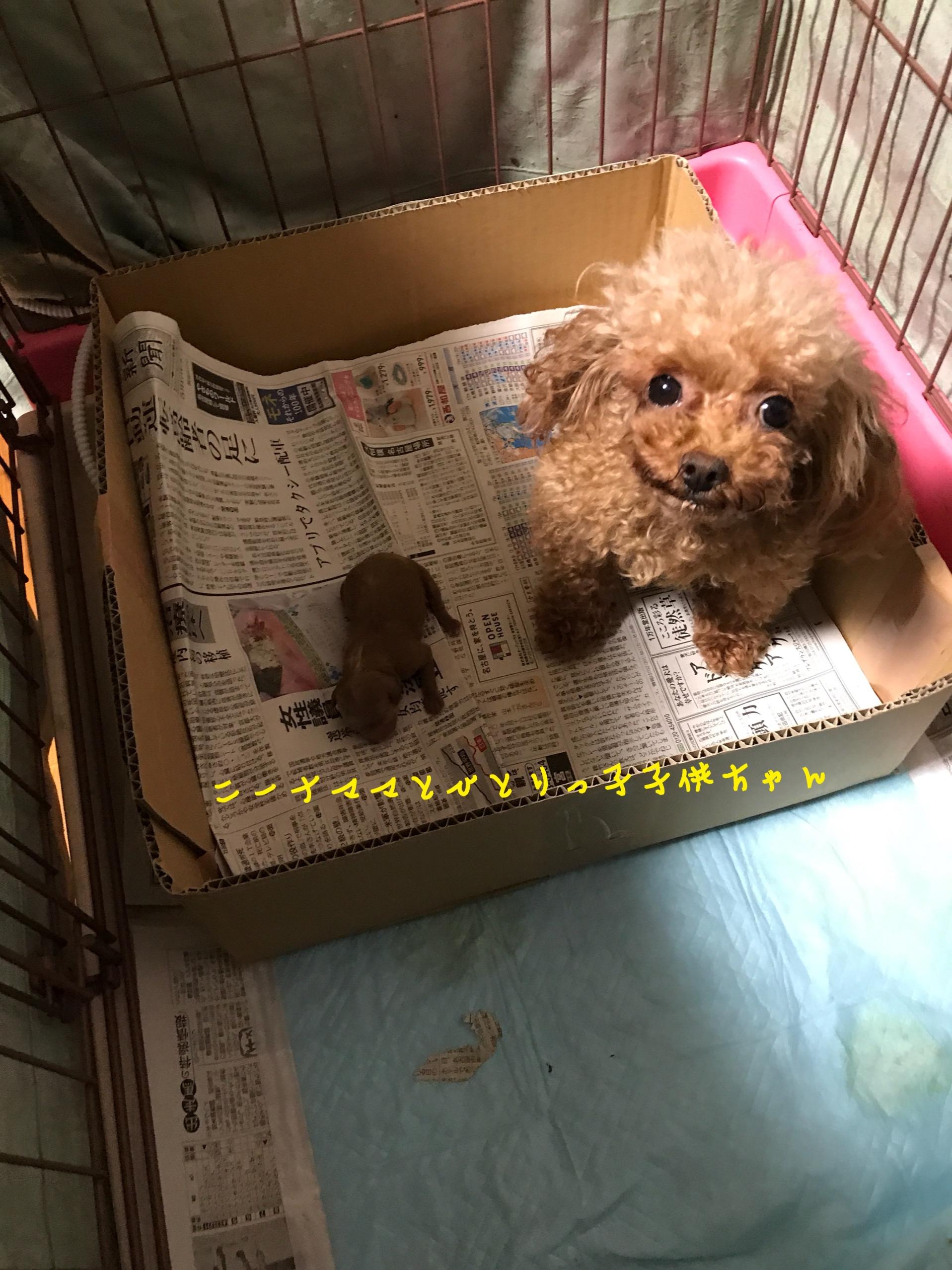 トイプードル 子犬販売 犬