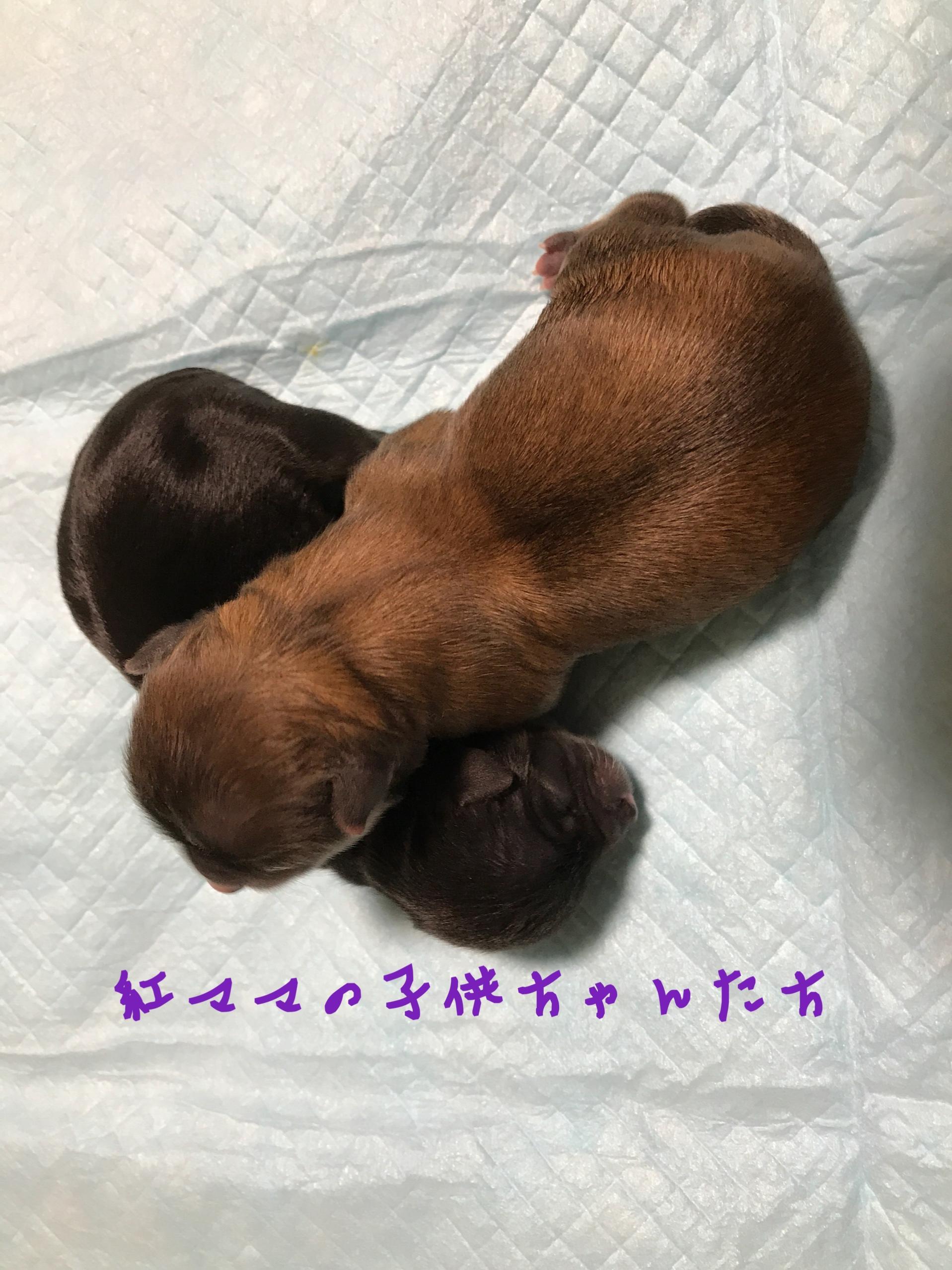 チワワ フォーン 仔犬販売 自家繁殖