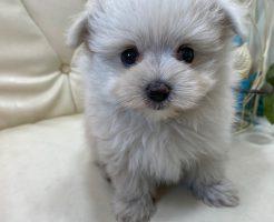 ミックス犬 マルポメ 女の子