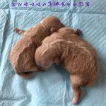 ミックス犬 トイプードル×ペキニーズ 自家繁殖