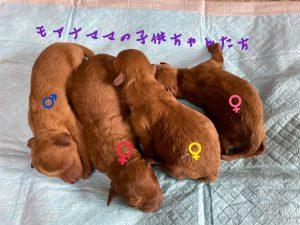 トイプードル レッド 仔犬販売