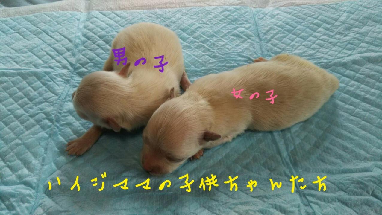 ミックス犬 マルチーズ×ポメラニアン