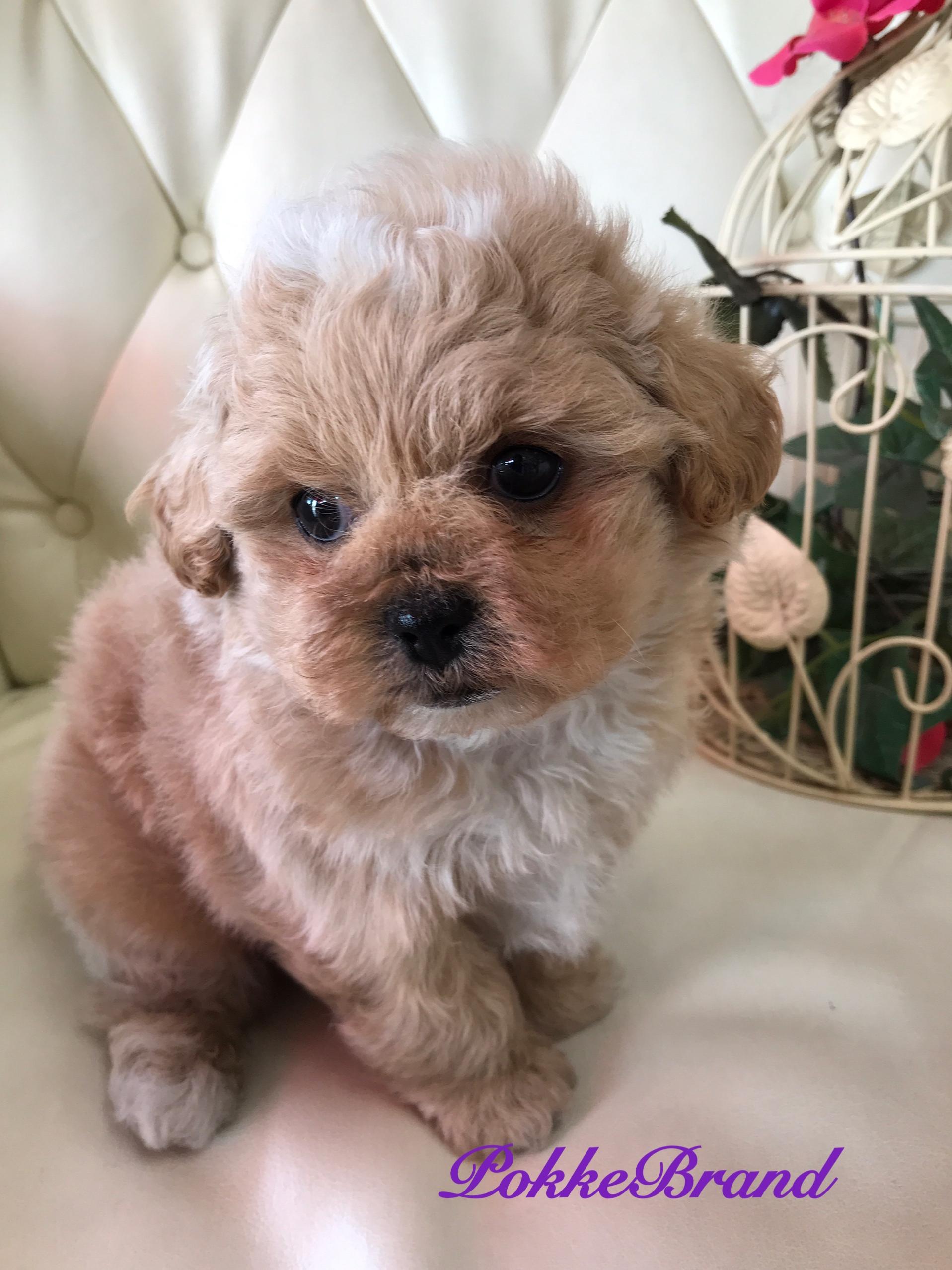 ミックス犬 プーペキ 男の子