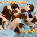 シーズー 仔犬 自家繁殖
