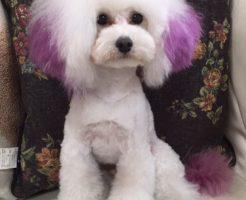 トイプードル ホワイト 男の子 看板犬 ペットコンシェルジュ