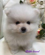 ポメラニアン ホワイト 男の子 仔犬