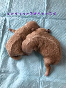 mix犬 トイプードル×ペキニーズ 女の子 自家繁殖