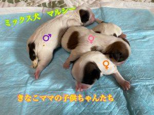 ミックス犬 マルシー 自家繁殖
