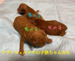 トイプードル レッド 自家繁殖 仔犬販売