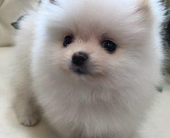 ポメラニアン 仔犬 ホワイト 女の子