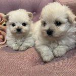 マルポメ ミックス犬 兄妹 小ぶりサイズ