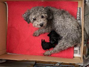 自家繁殖 子犬販売 シルバーカラー トイプードル