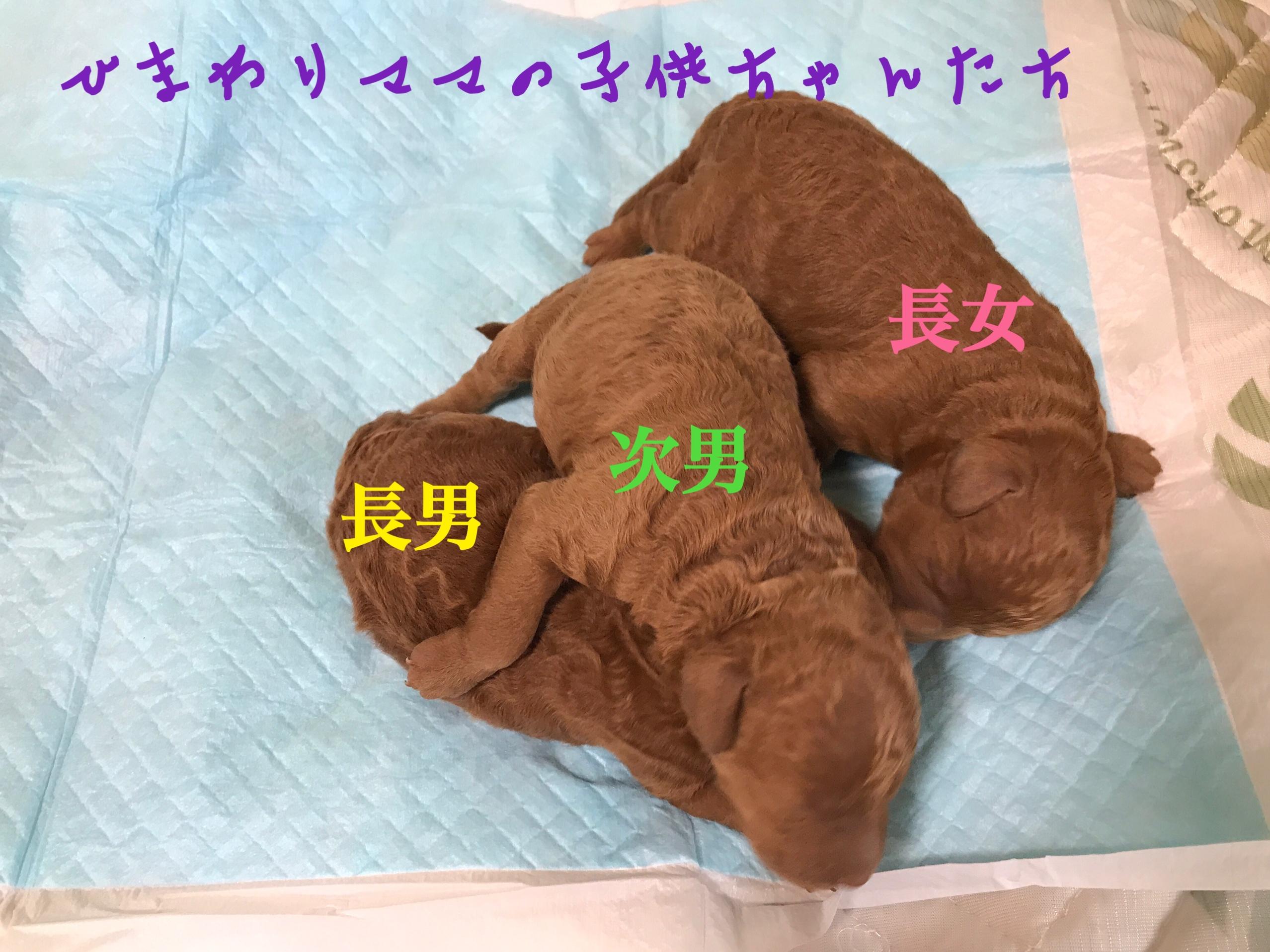 トイプードル レッド 子犬販売
