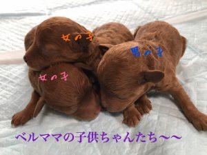 トイプードル 子犬 レッド