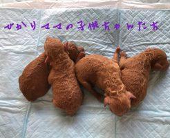 トイプードル レッド 女の子 自家繁殖 仔犬販売