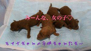 トイプードル 4姉妹 子犬販売 レッド
