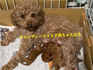 トイプードル 子育て 仔犬販売 仔犬 自家繁殖