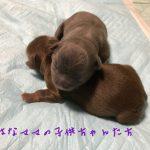 チワワ チョコレート&タン イザベラ&タン 女の子