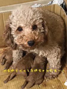 ママ犬 トイプードル 自家繁殖 子犬販売