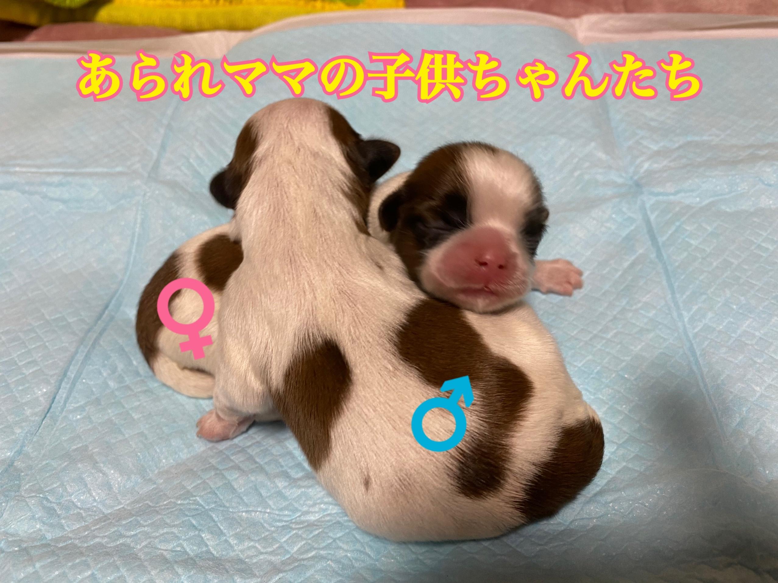 シーズー ホワイト&ゴールド 仔犬
