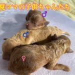 トイプードル レッド 自家繁殖 仔犬