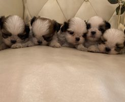 シーズー 5兄弟 仔犬販売
